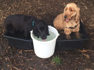 Two dogs cooling off in a bucket of water.
