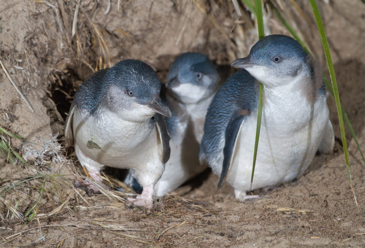 Three Little Blue Penguins
