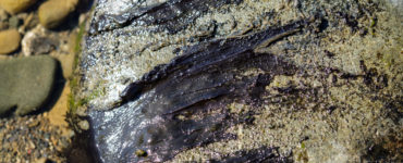 Mats of Toxic Algae on rocks in the Hutt River